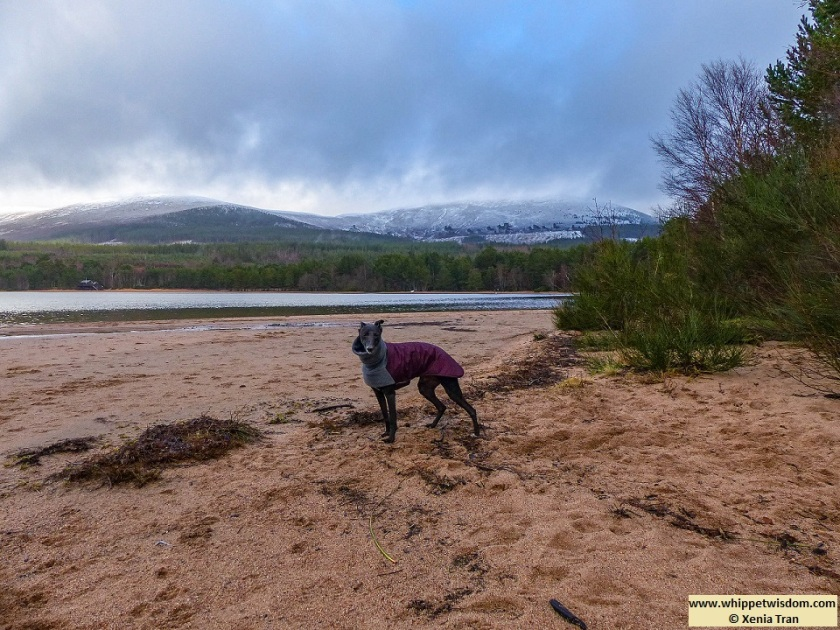 black whippet in winter jacket on loch shore