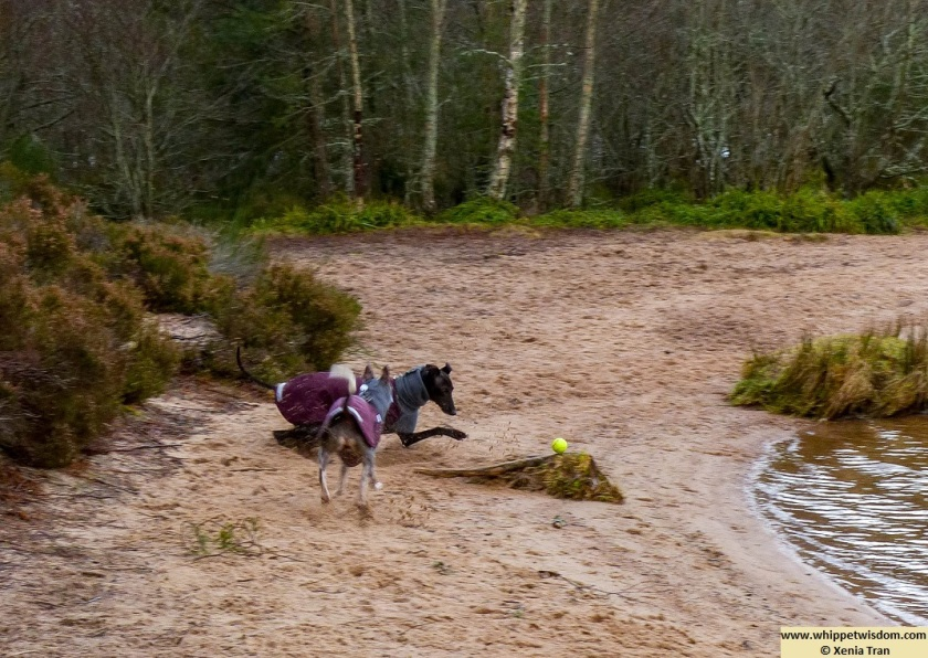 two whippets in winter jackets chasing a yellow ball