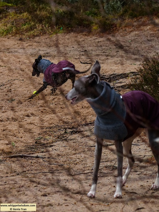 two whippets playing in winter jackets seen through leafless branches