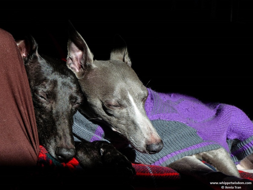 two whippets in jumpers snuggled up asleep in winter sun
