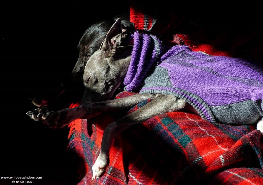 two whippets in jumpers asleep on tartan blanket