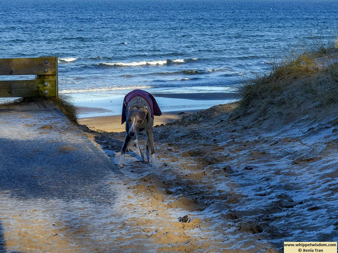 blue whippet in winter jacket climbing up frosty dunes