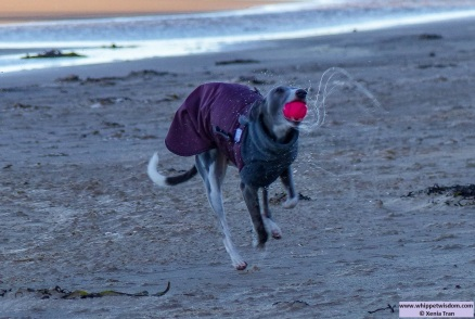 blue whippet in winter jacket shaking water off a pink ball