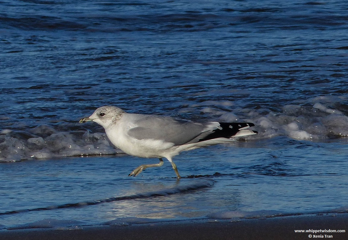ring-billed gull walking at the water's edge