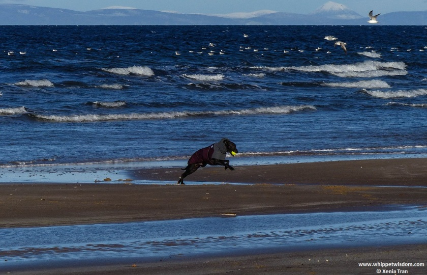 black whippet in winter jacket running on tidal sands