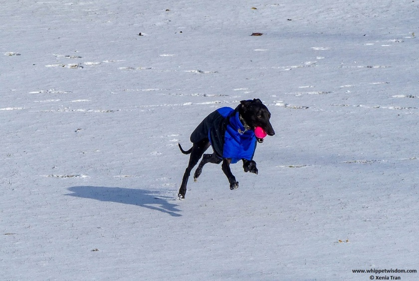 black whippet in winter jacket running in the snow with a ball