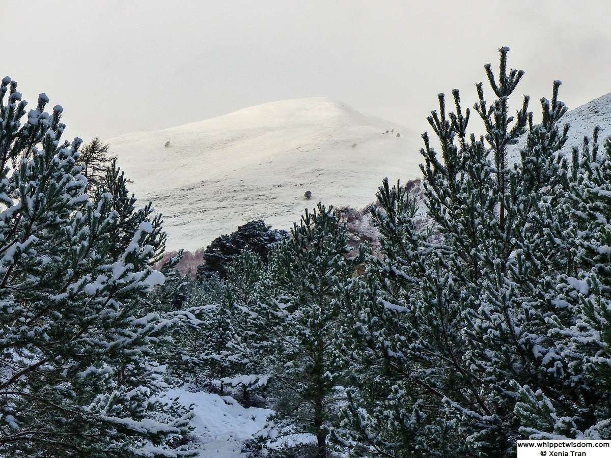 snow covered mountain seen from the forest glen