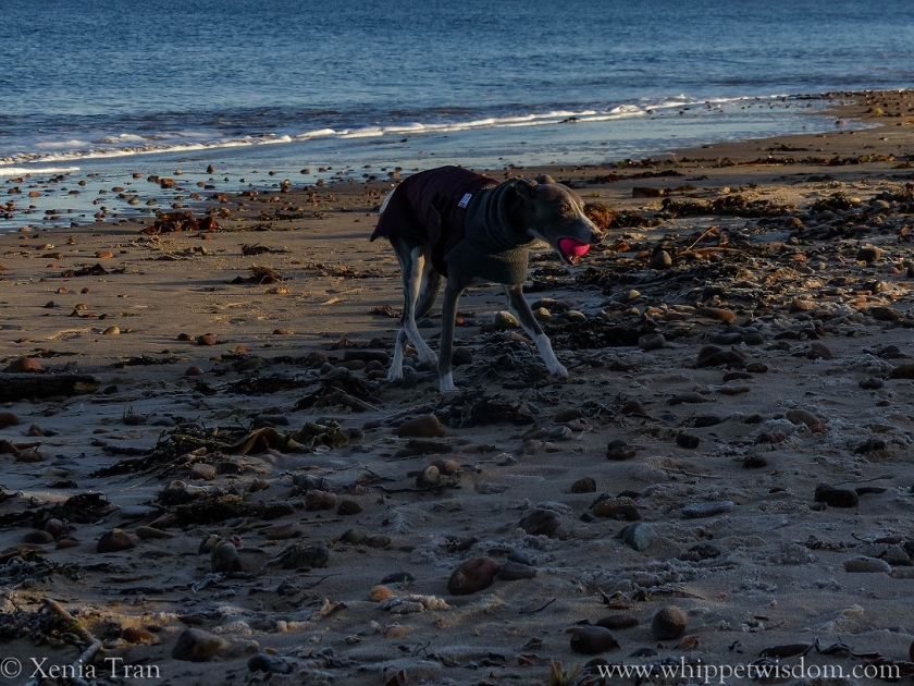 blue whippet in winter jacket on the beach with a pink ball