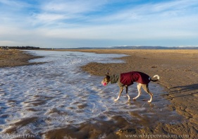 blue whippet in winter jacket walking on frozen shallows