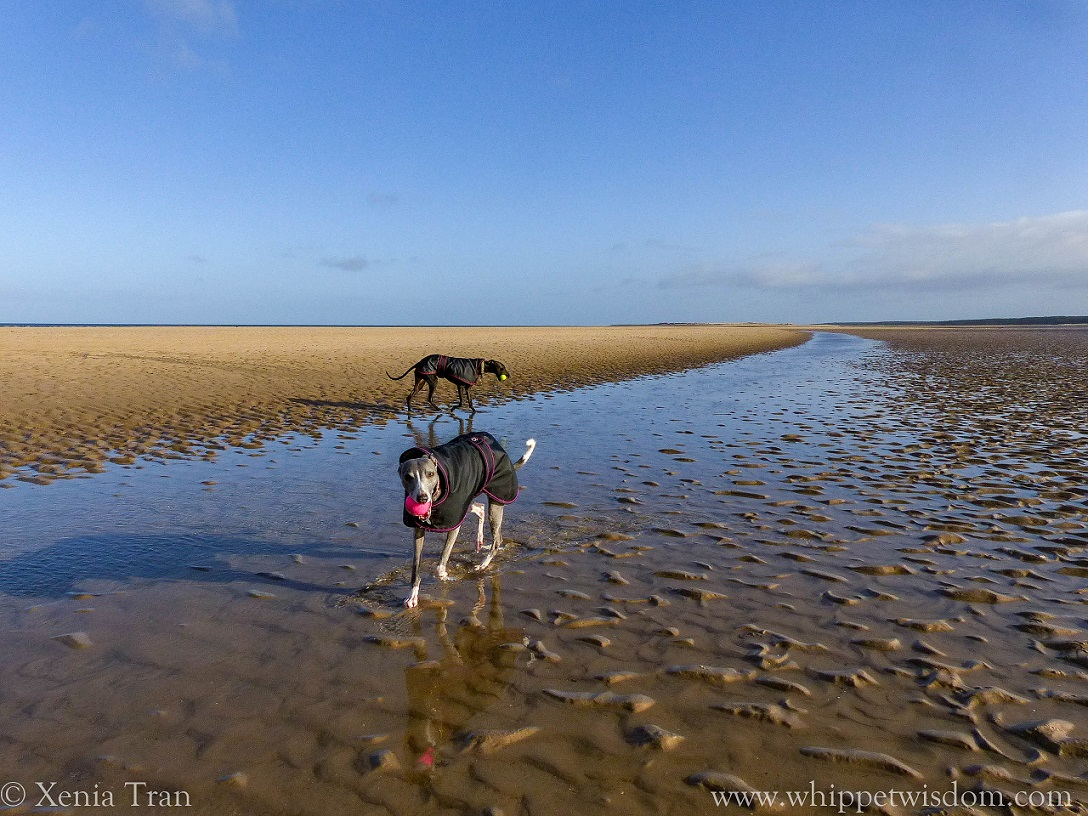two whippets in black jackets walking through the shallows