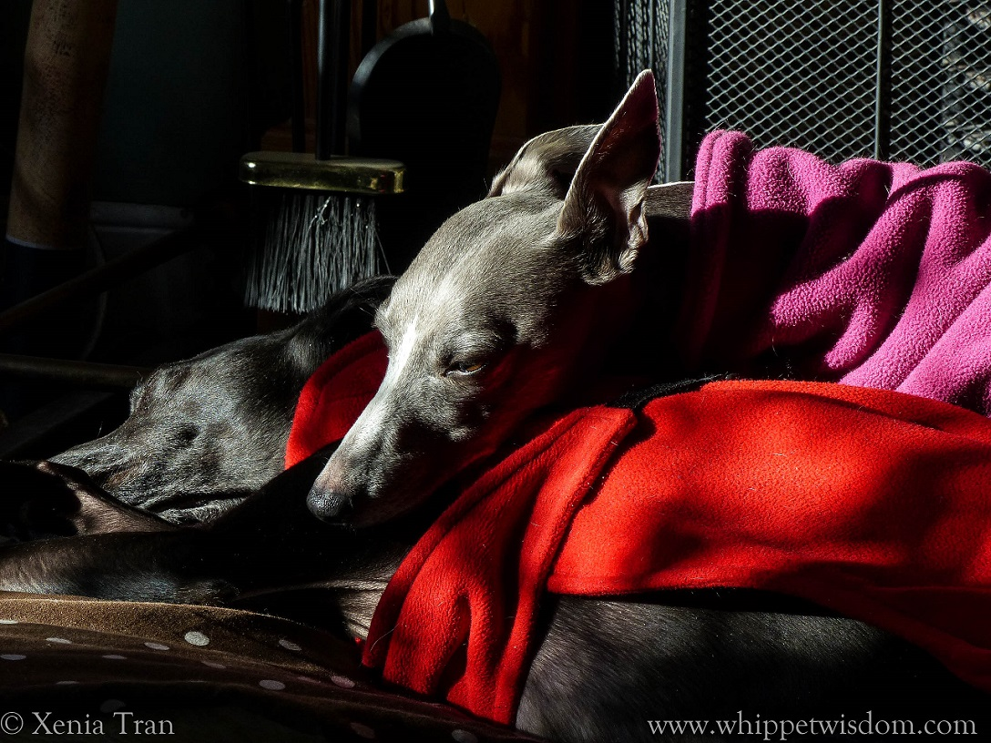 blue whippet in pink fleece snuggled up with sleeping back whippet in red fleece