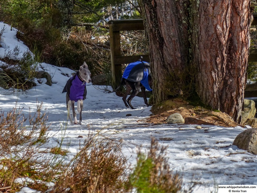 blue whippet in winter jacket running on snow next to a large pine tree