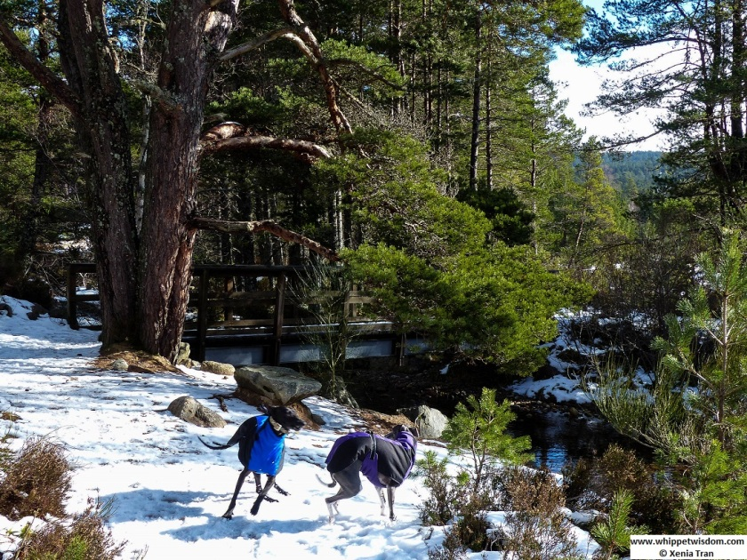 two whippets in winter jackets running on snow in the forest