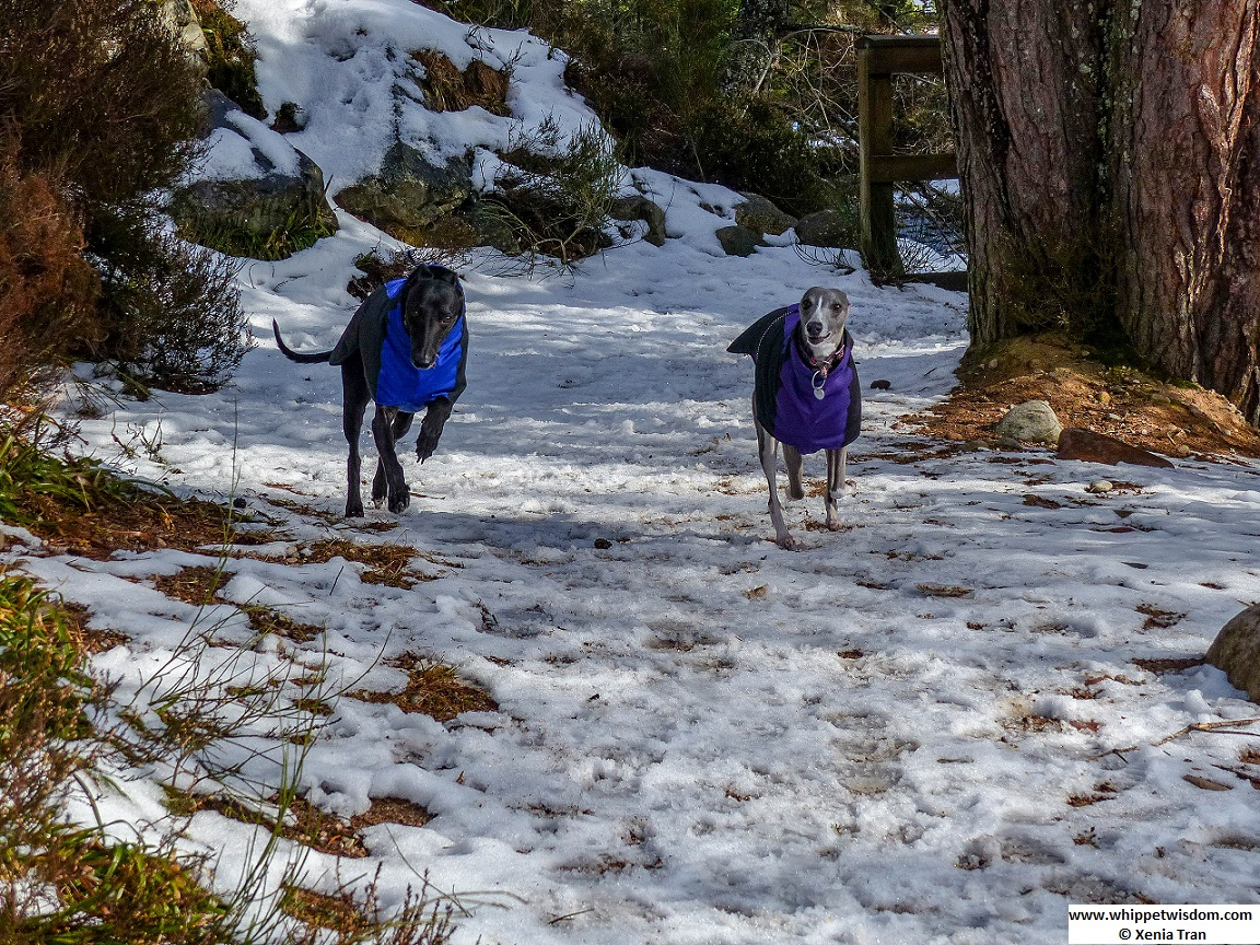 two whippets in winter jackets running in the snow