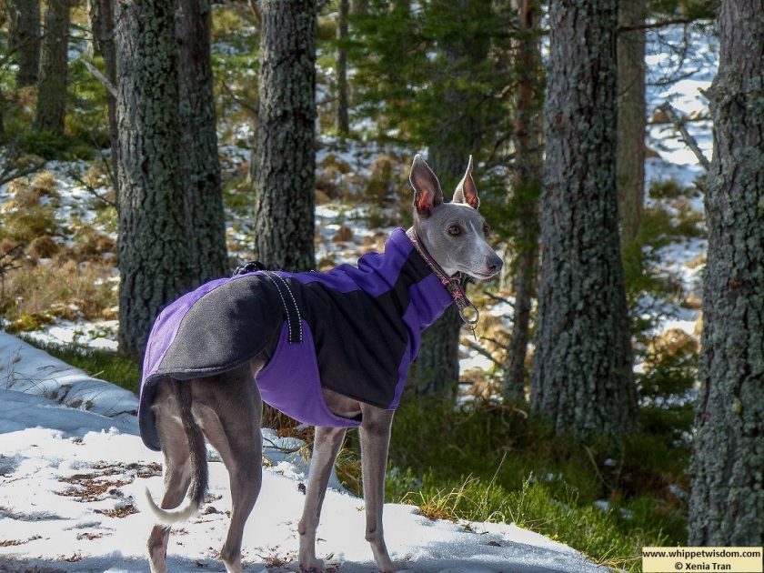 blue whippet in winter jacket on snow covered forest trail