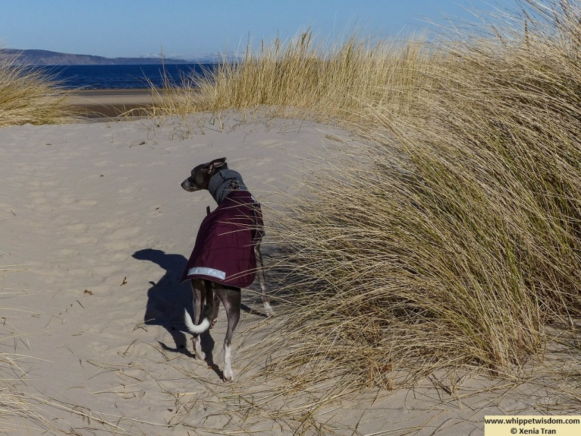 blue whippet in winter jacket in the dunes overlooking the beach and Firth