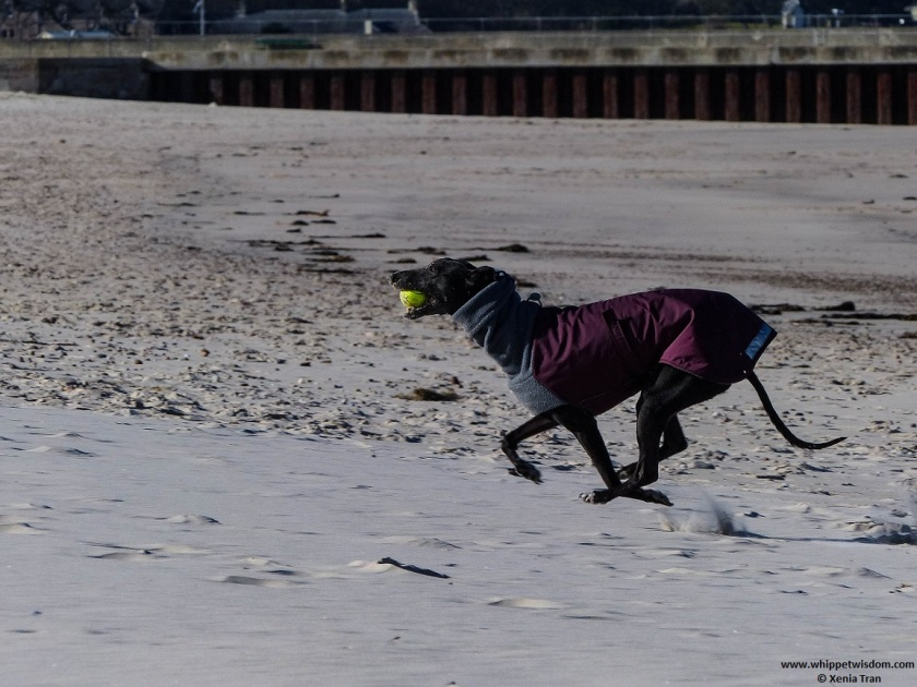 black whippet in winter jacket running on the beach