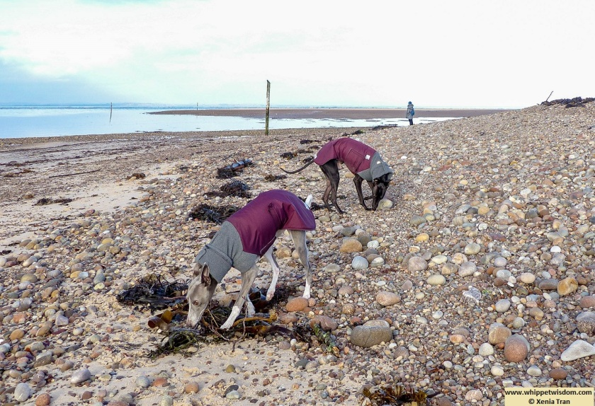 two whippets in winter jackets sniffing seaweed near mouth of the river