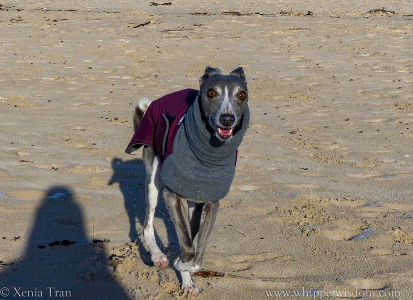 blue whippet in winter jacket running on the beach with a big smile on her face