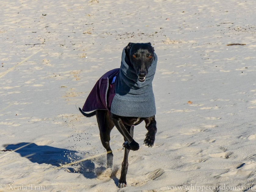 black whippet in winter jacket smiling and running on the beach