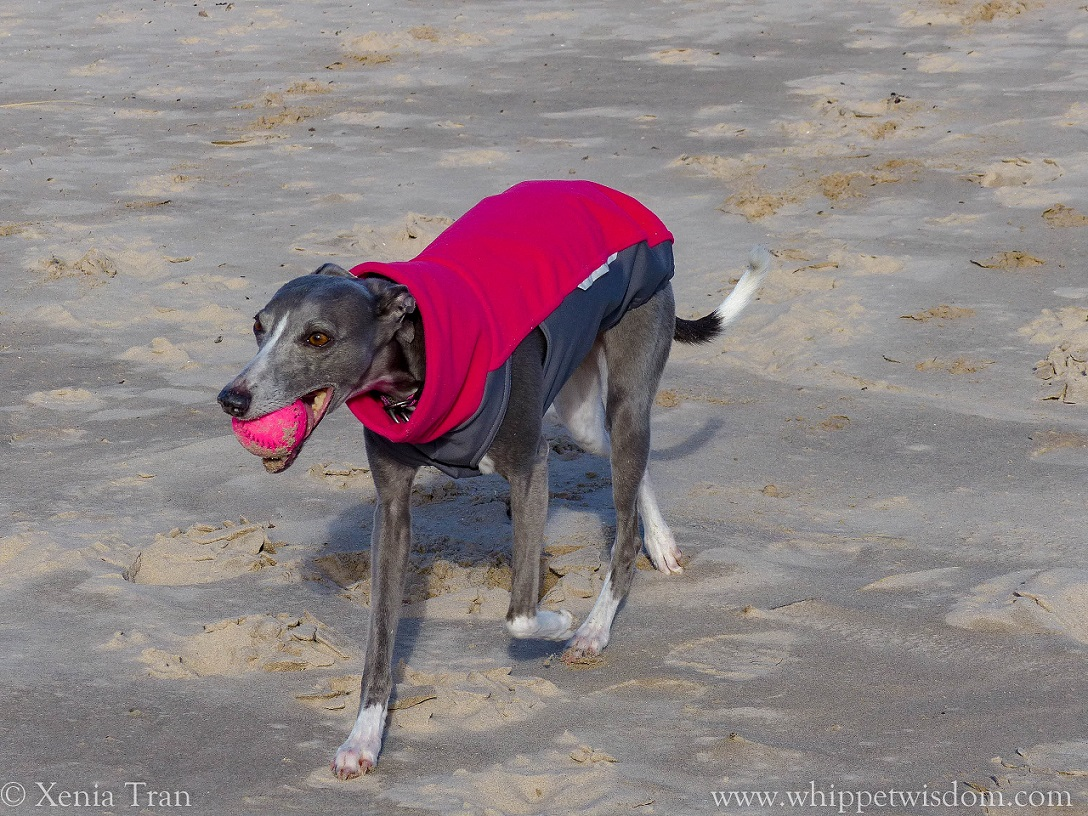 blue whippet in pink and grey fleece walking on the beach with a pink ball