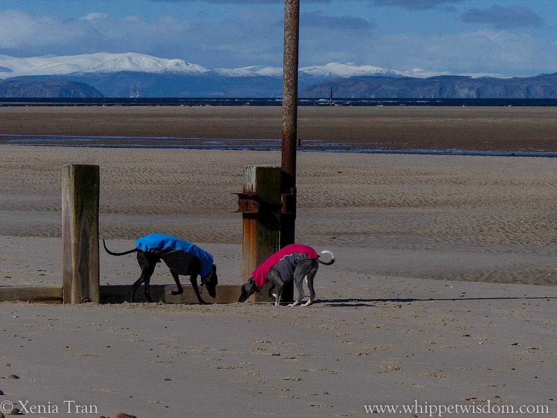 two whippets in winter jackets by sunken wooden breakwater on the beach