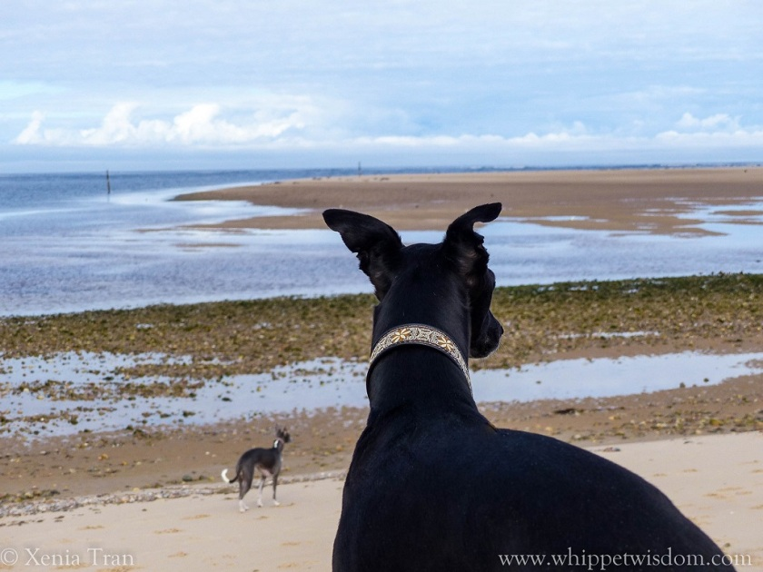 black whippet standing on dunes, watching the tidal pools and sand bars.