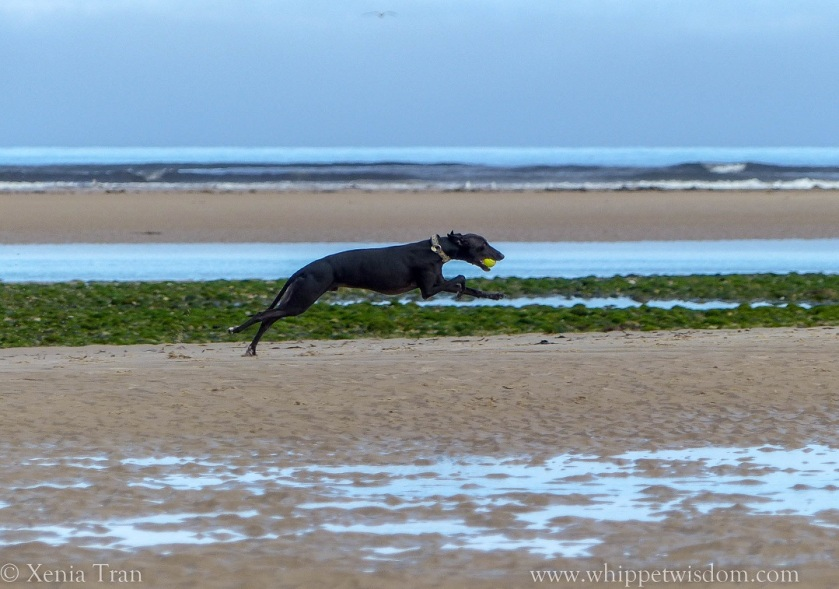 black whippet leaping across the beach with a yellow ball