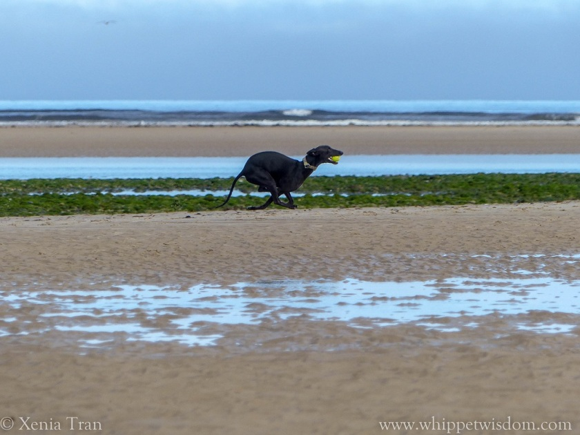 black whippet running with a yellow ball on tidal sands
