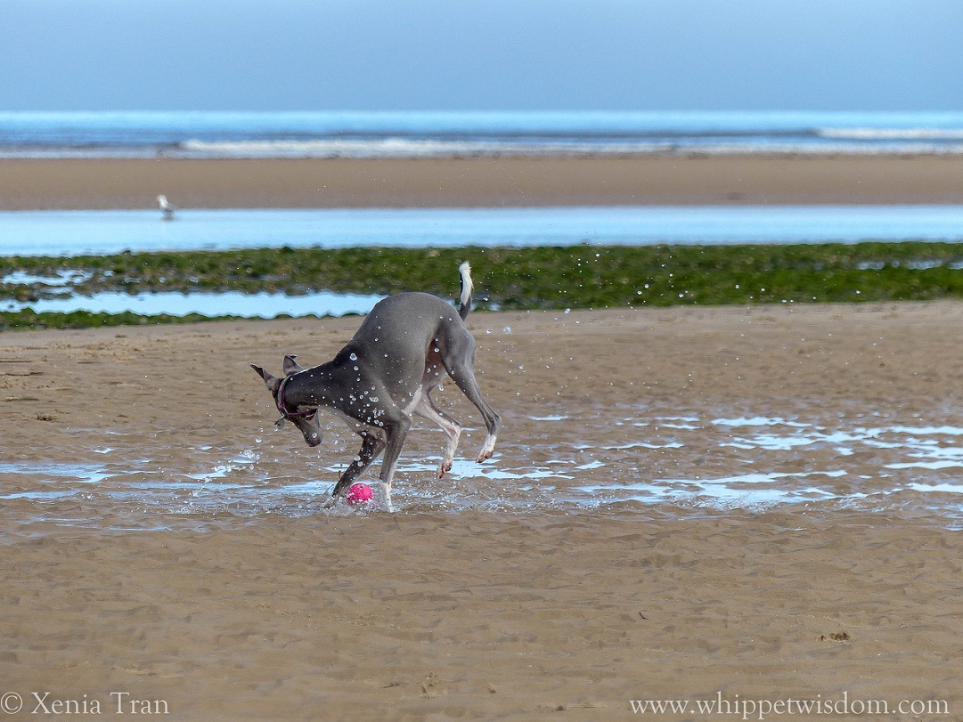 blue whippet splashing in water on tidal sand with a pink ball