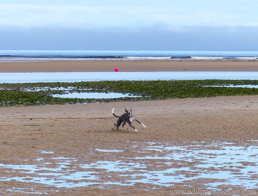 blue whippet chasing a pink ball on the beach