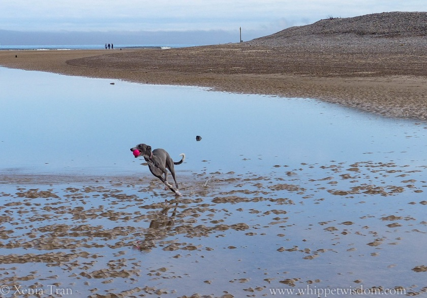 blue whippet running through tidal pool with a pink ball