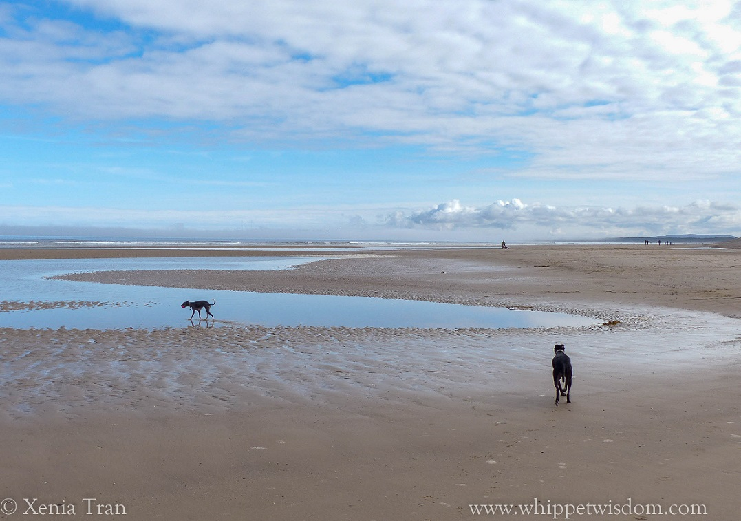 two whippets by a tidal lagoon on the beach at low tide