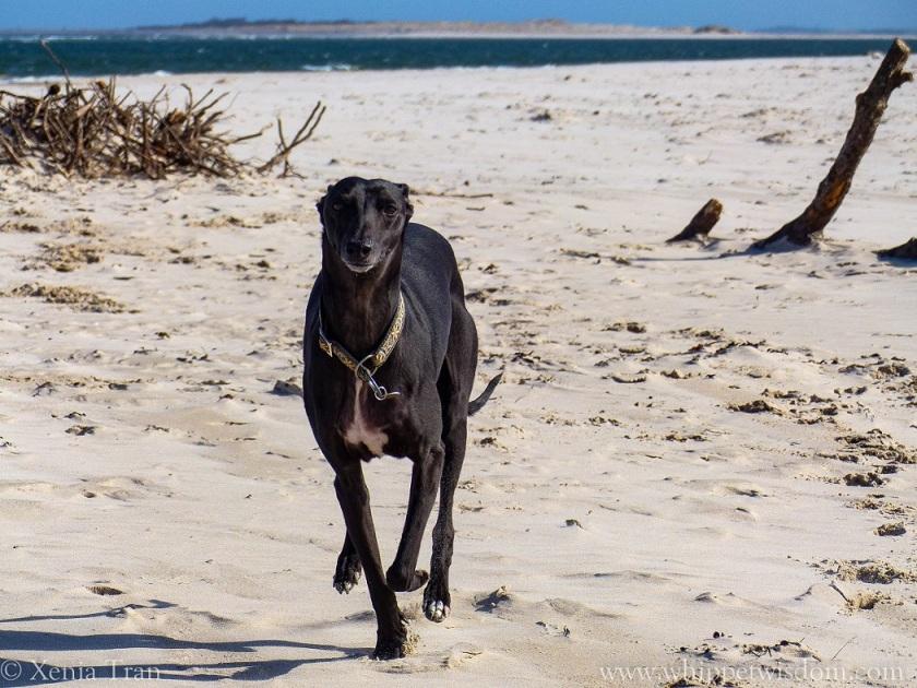 black whippet running on beach near driftwood