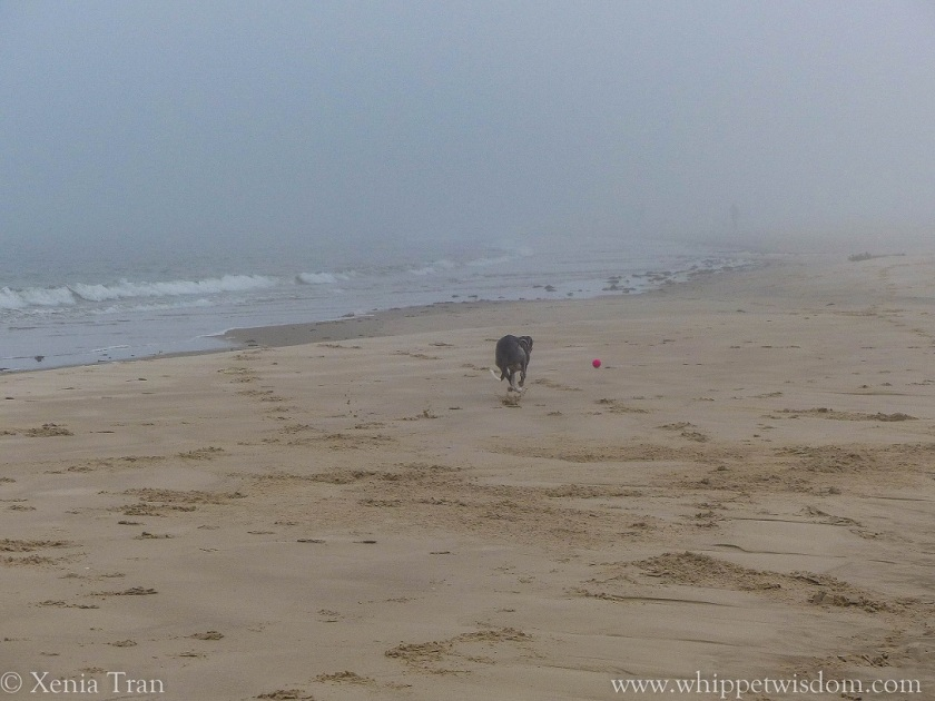 blue whippet chasing a pink ball on the beach in morning mist