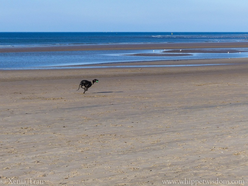 black whippet running across the beach with a green ball