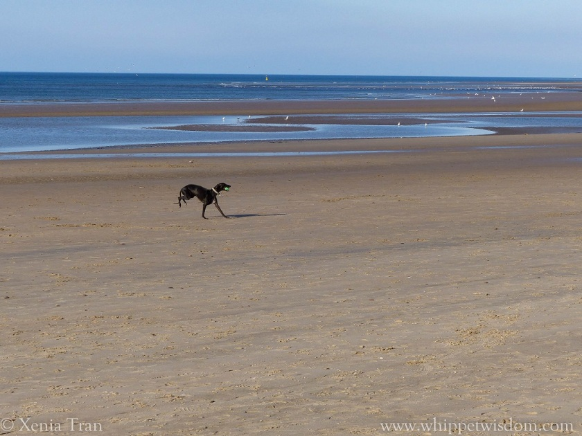 black whippet running with a ball on the beach at low tide