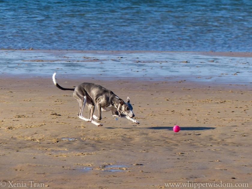 blue whippet chasing a pink ball on the beach at low tide