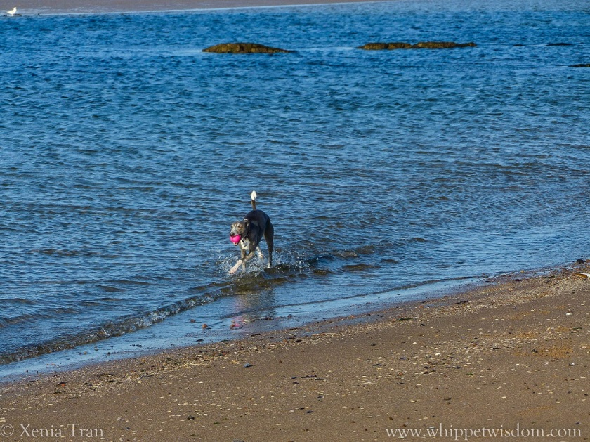 blue whippet striding through the sea with a pink ball