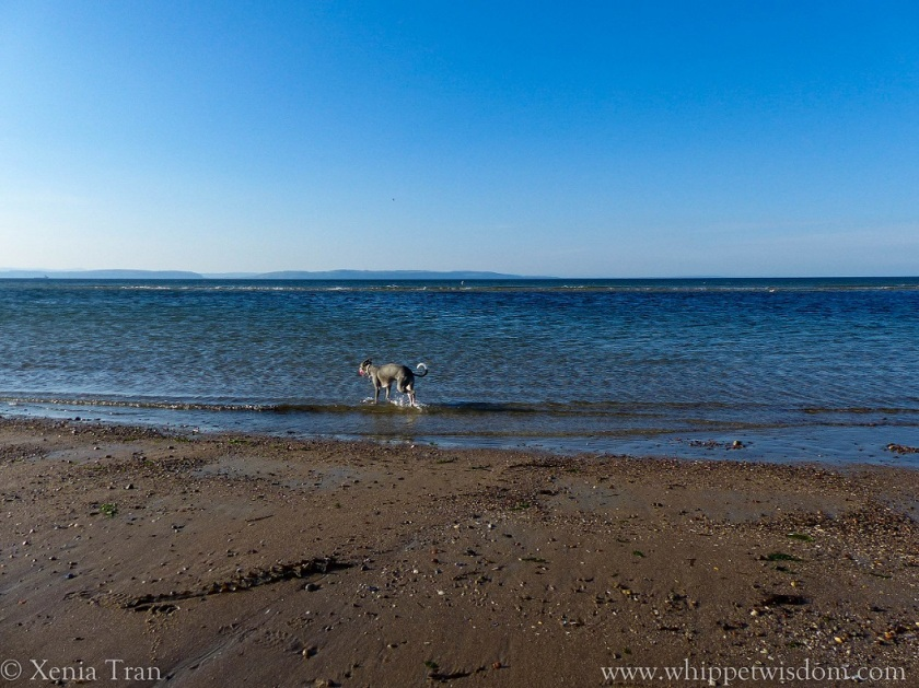 blue whippet walking in the sea at low tide