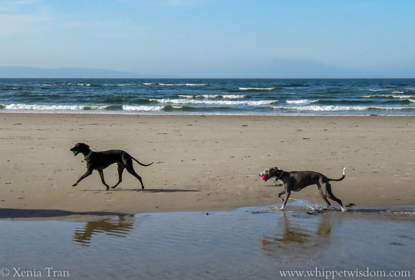 a black whippet with a green ball and a blue whippet with a pink ball playing by tidal lagoon