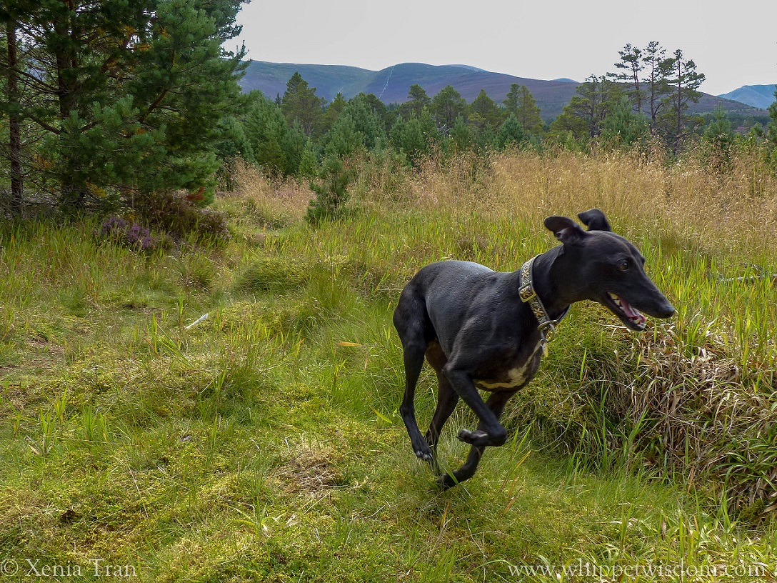 black whippet running through the glen