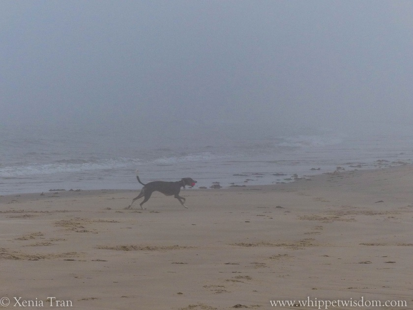blue whippet running on the beach in the mist with a pink ball