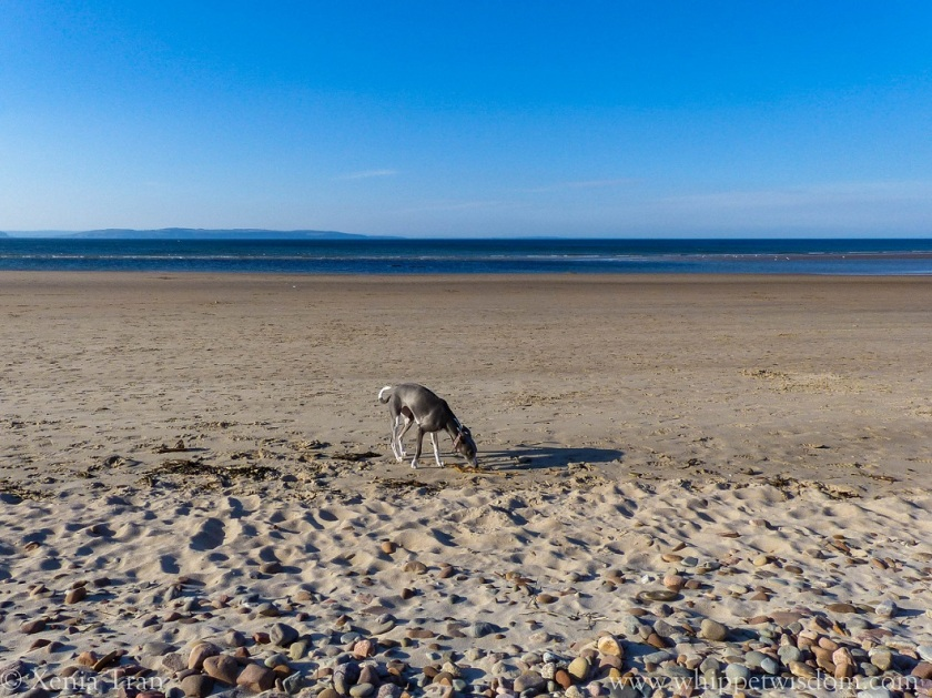 blue whippet sniffing the sand on beach at low tide