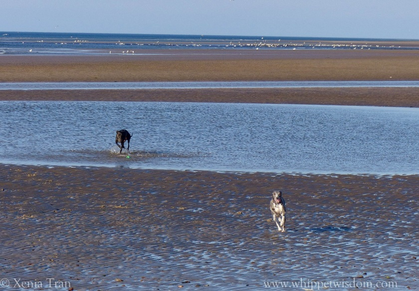 two whippets running and playing by tidal pools on the beach at low tide