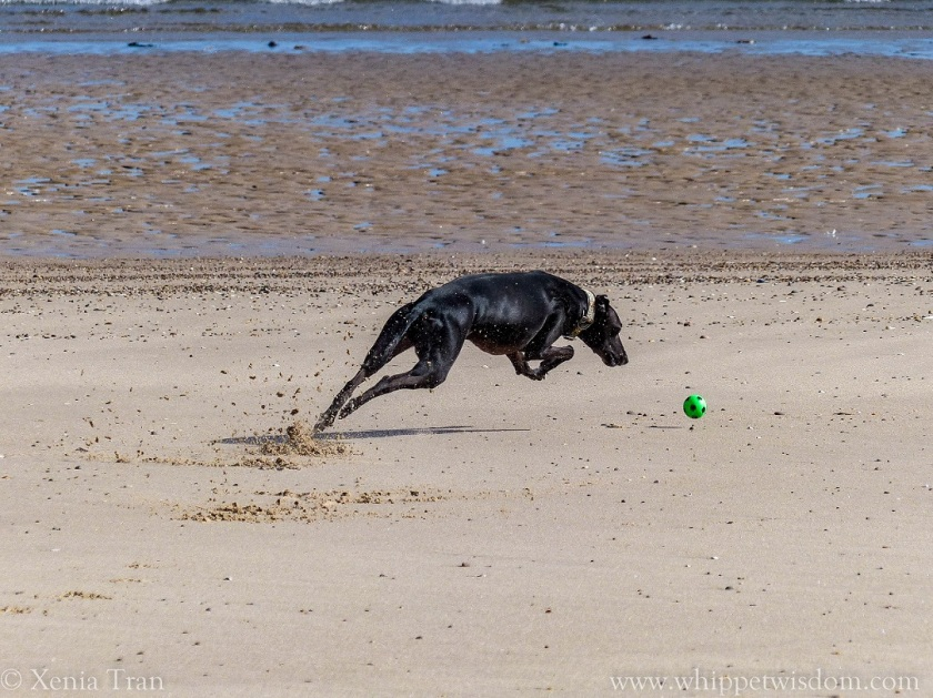 black whippet chasing a green ball on the beach