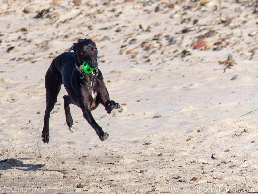 black whippet running on the beach with a green ball