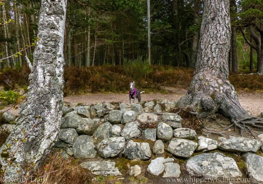blue whippet with her front paws on a stone wall between trees on forest trail