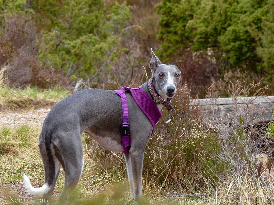 blue whippet in a purple harness beside a stream on woodland trail