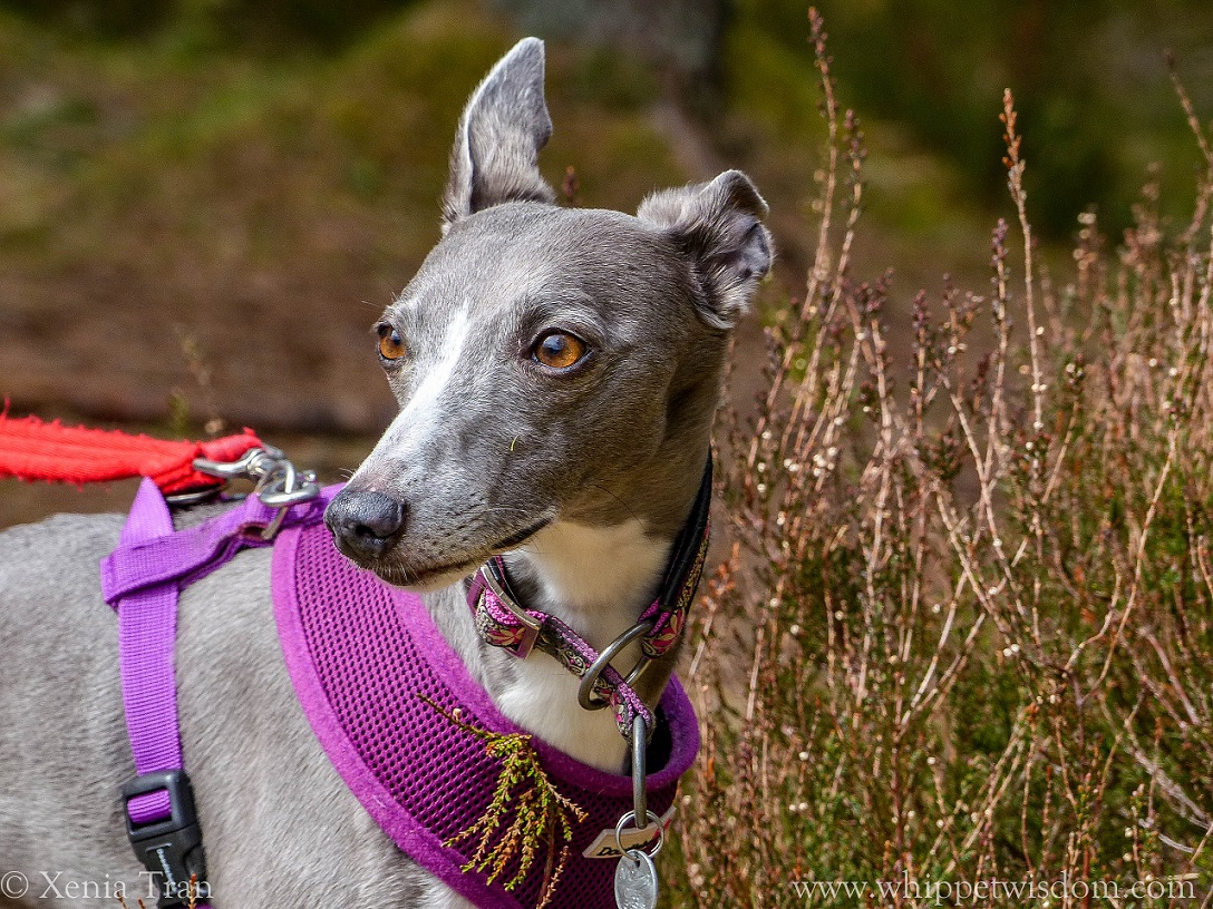 blue whippet in a purple harness beside heather